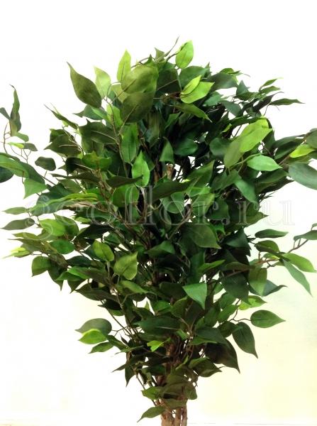 Дерево, фикус, 164 см